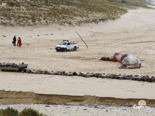Échouage d'une baleine sur la plage Sud de Contis