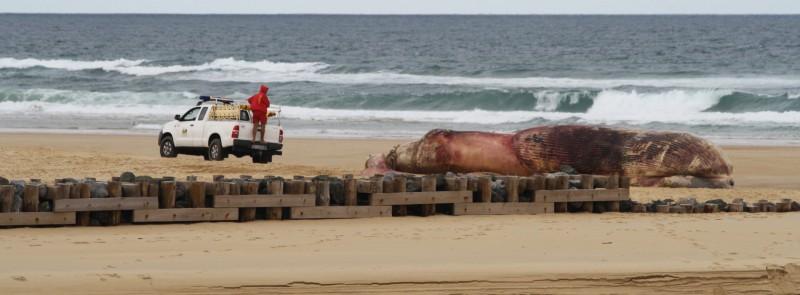 Échouage d'une baleine sur la plage de Contis